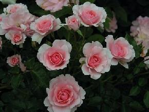 Bonica Bush Rose 200mm pot