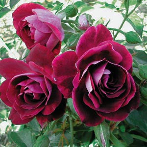 Burgundy Iceberg 3' Standard Rose NR 200mm