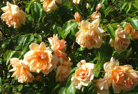 Crepescule Climbing Rose 200mm