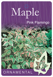 Acer Negundo Pink Flamingo Maple 330mm Pot