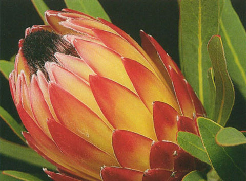 Protea Possum Magic