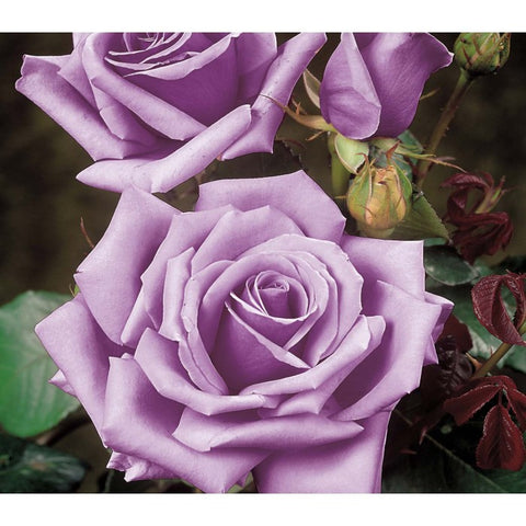 Blue Moon Bush Rose 200mm pot
