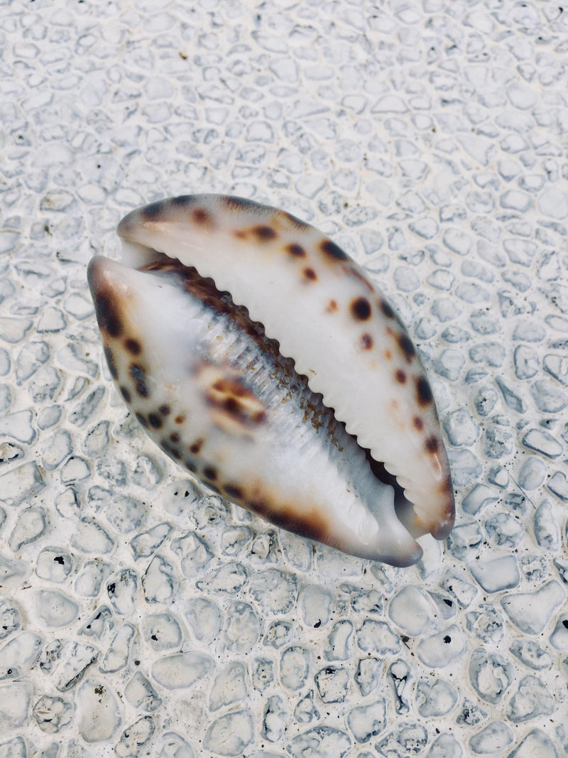 THE COWRIE SHELL - Black Salt Co Coastal Luxe Homewares and Decor