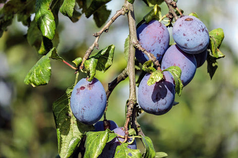 Wild Plums on a tree