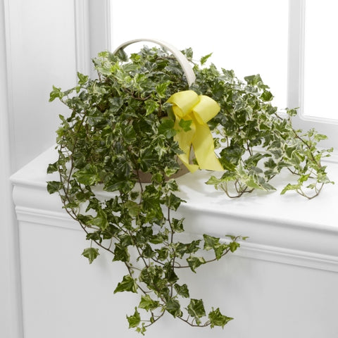 Solace Ivy Planter