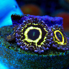 Zoanthids / Softies