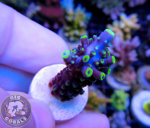 Battle Stag Acropora