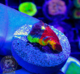 CB ShowStopper Rainbow Chalice