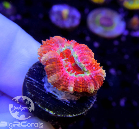 Cotton Candy Acan