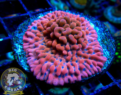 Brain Freeze Montipora