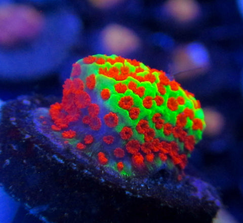 Screamin Demon Montipora