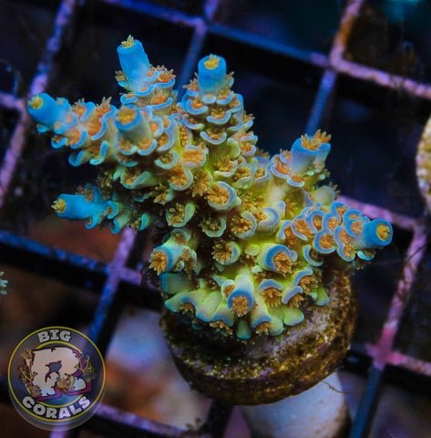 SC Orange Passion Acropora