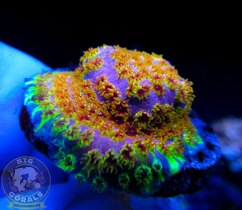 Skittles Bombs Cyphastrea