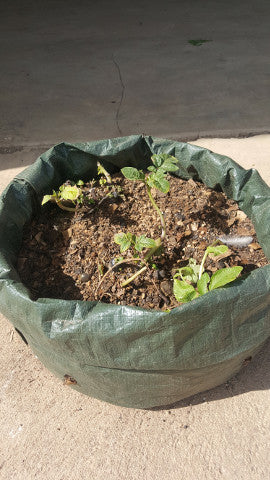 Potato planter, [product-type] - fresh from Growing Healthy Foods
