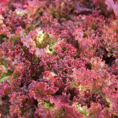 Lettuce Red Poem, [product-type] - fresh from Growing Healthy Foods
