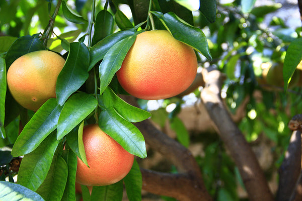 Fruit trees 20L, [product-type] - fresh from Growing Healthy Foods