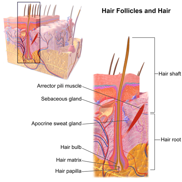 Hair follicle anatomy diagram maintaining healthy hair follicles toppik hair blog