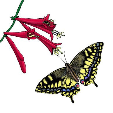 Swallowtail and Dropmore Scarlet Honeysuckle Greetings Card 14x14cm (blank inside)