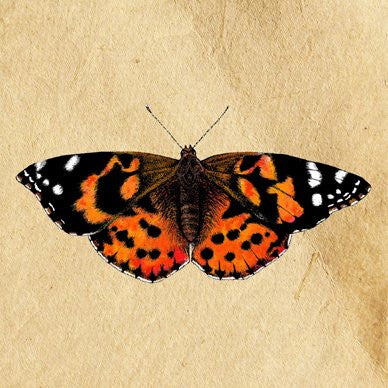 Painted Lady Greetings Card 14x14cm (blank inside) - On the Wall Art Print Posters & Gifts