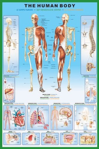 Human body Regular Poster (61x91.5cm) - On the Wall Art Print Posters & Gifts