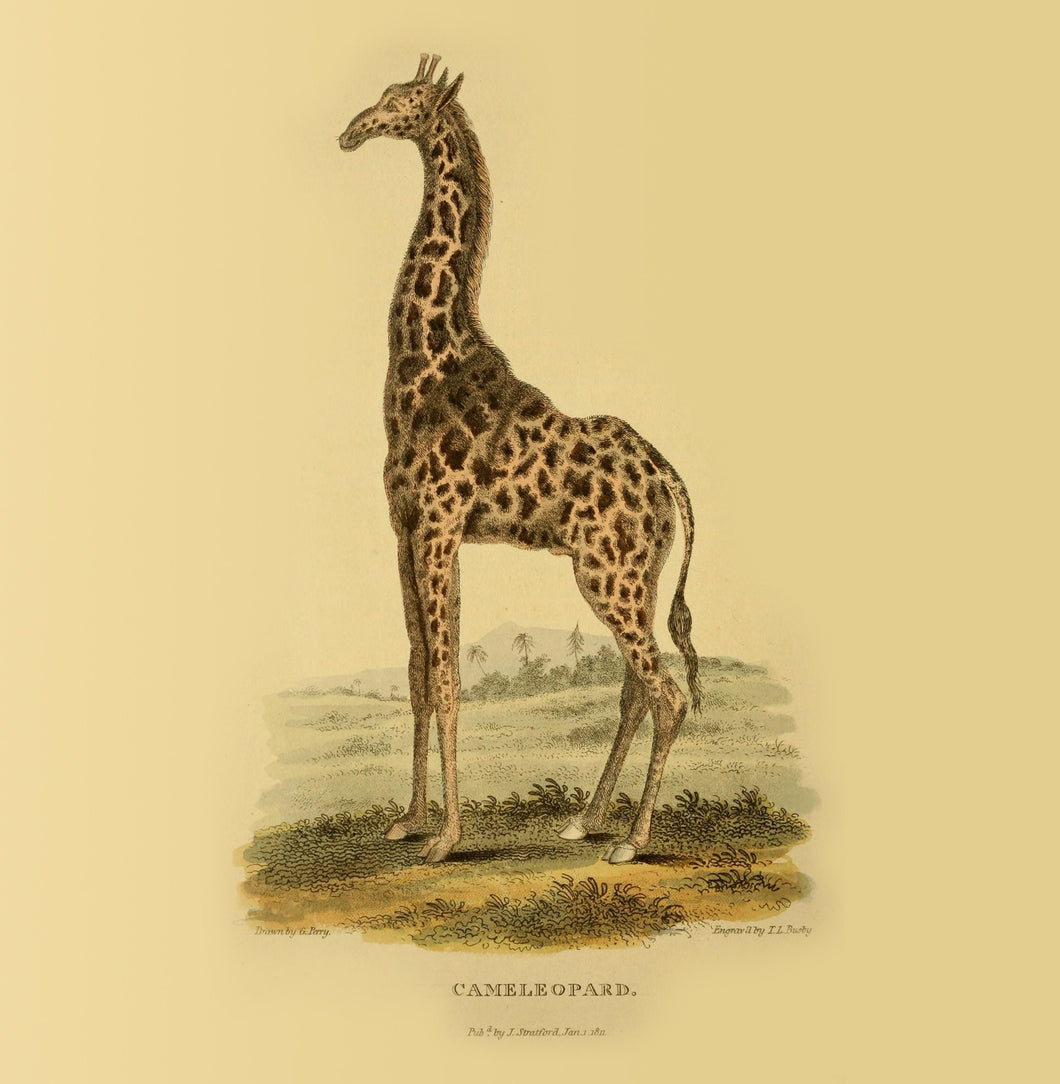 Giraffe Natural History 14x14cm Greetings card (Blank Inside)