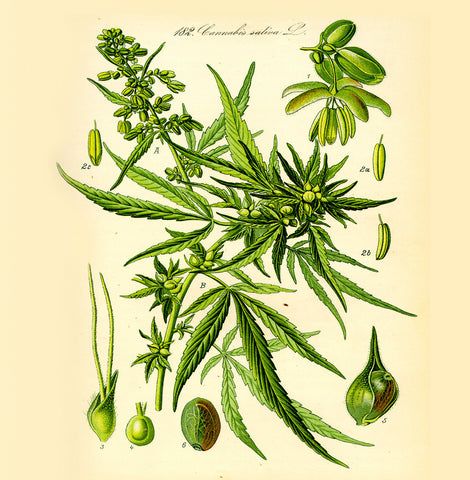 Hemp Weed Plant Natural History 14x14cm Greetings card (Blank Inside)