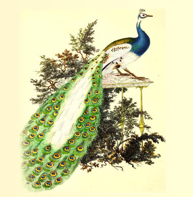 Peacock Natural History 14x14cm Greetings card (Blank Inside)