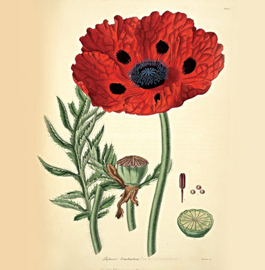 Poppy Natural History 14x14cm Greetings card (Blank Inside)