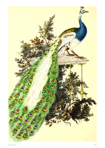Natural History Peacock, Vintage Illustrated Field Studies, Animals Bird  Art Print Poster 50x70cm