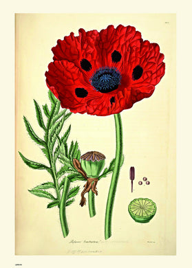 Natural History, Poppy, Illustrated Field Studies, Vintage flower, plant, floral Art Print Poster 50x70cm