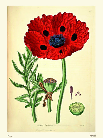 Poppy Natural History 30x40cm Art Poster Print