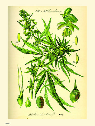 Cannabis sativa, scientific drawing from c1900 Natural History