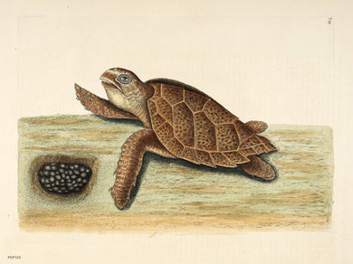 Mark Catesby (1743), Natural History of Carolina etc., vol 2, plate 39, with Testudo caretta, the Hawksbill turtle