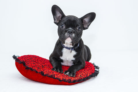 Decor Elements - French Bulldog on pillow