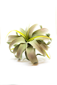 Kalalou Extra Large Grey Air Plant