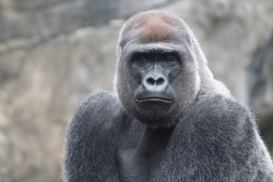 Gorilla Grumbles: A Gorilla Conservation Spotlight Blog presented by Kong's Keeper