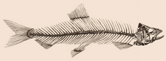 Herringbone skeleton