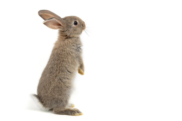 bunny ear comedogenic testing