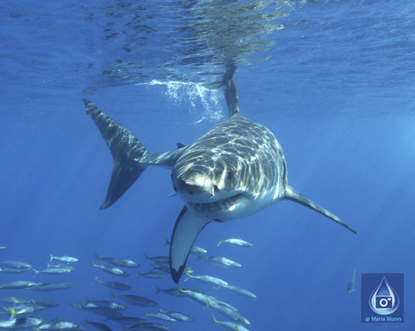 Underwater Photo Gifts of Sharks, Whales, Dolphins, Turtles