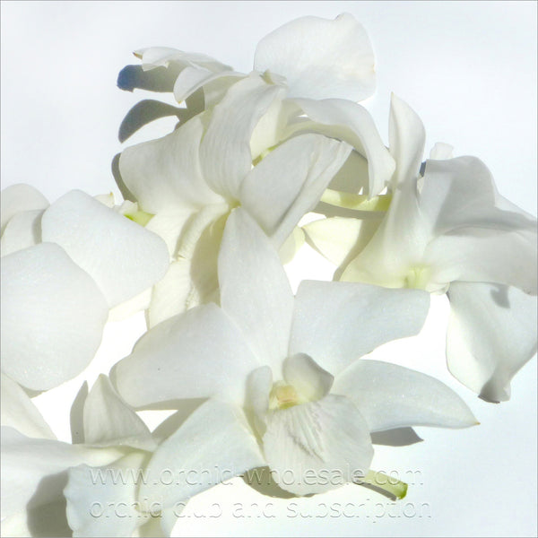 Loose bloom orchid edible flowers - white