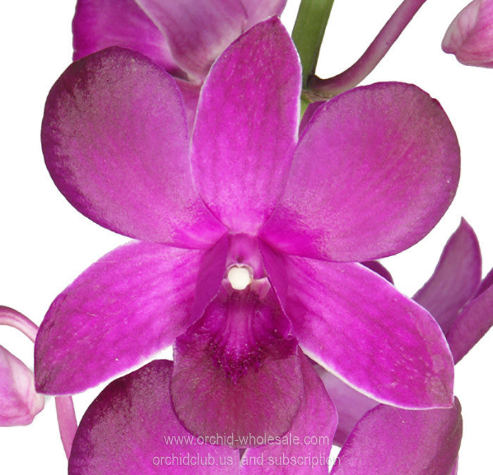 Dendrobium Orchid Maroon