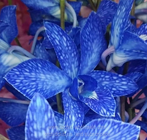 Fresh Cut Orchid Dendrobium Dyed Lervia Royal BLUE