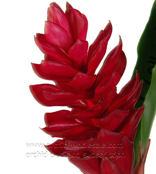 hawaiian tropical flower torch ginger