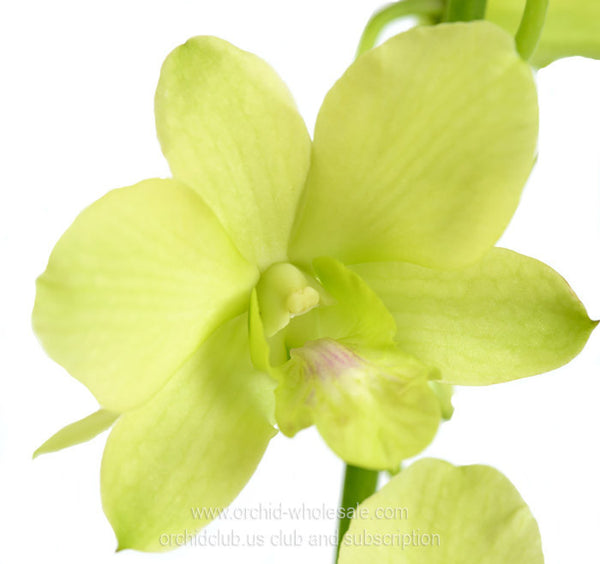 Fresh Cut Orchid Dendrobium Honey Dew