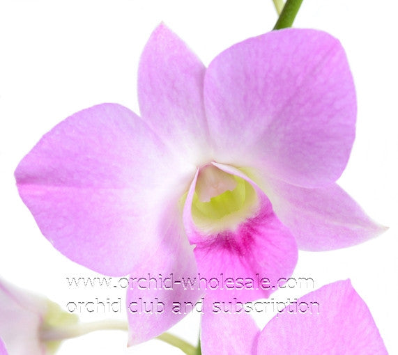 Dendrobium Orchid Hunny Pink (Honey Pink)