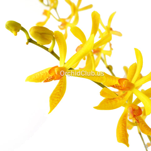 Fresh Cut Orchid Aranthera Orchid James' Storie YELLOW