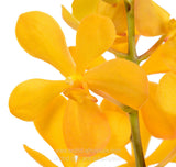 Fresh Cut Orchid Mokara Yellow Juicy Syrup