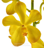 Fresh Cut Orchid Mokara Yellow Chaophraya
