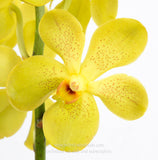 Fresh Cut Orchid Mokara Yellow Full Moon