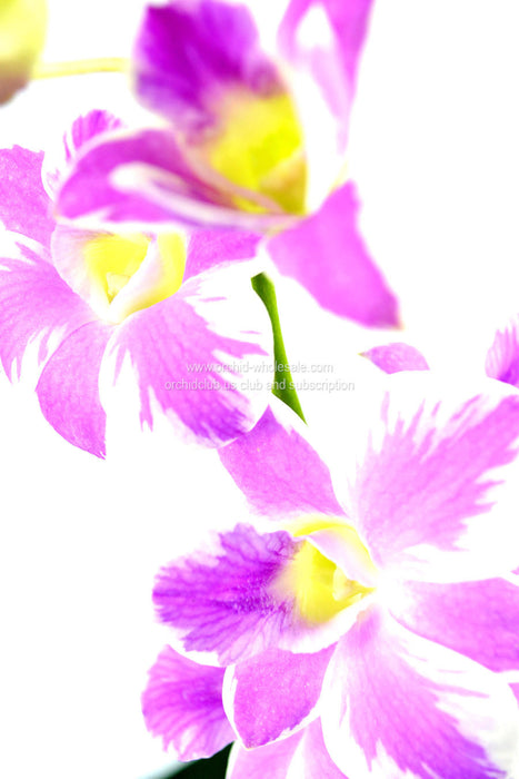 fresh cut novelty premium rare exotic tropical orchids
